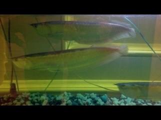 Silver Arowna Fish