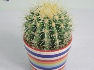 Golden Ball Cactus