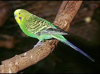 Budgerigar birds will be sold