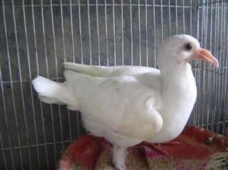 white homer baby 1.5 month
