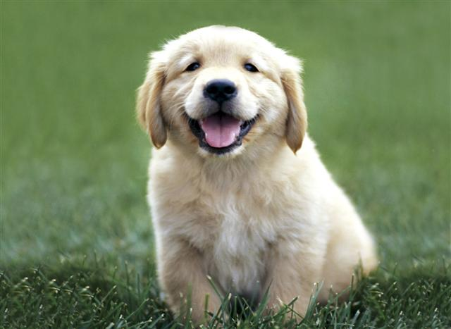 golden retriever puppy pictures