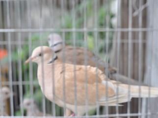 Australian Collard Dove