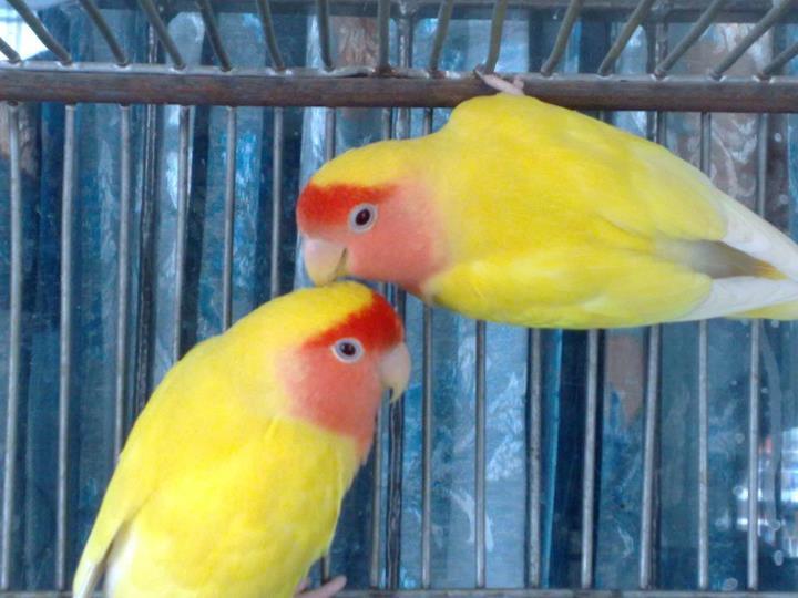image gallery lutino lovebird