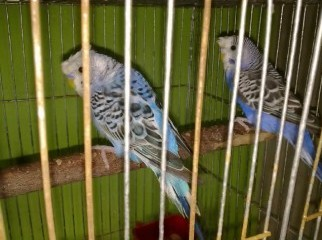 Adult Crested Budgerigar pair with cage