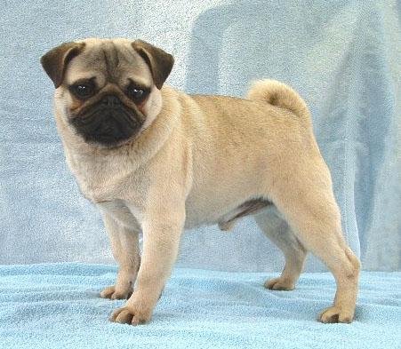 Puppy Pug Dog Clickbd