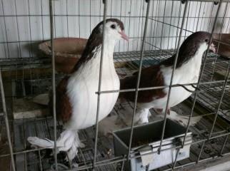 Lakkha Chicks