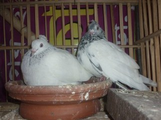 My pigeon collection
