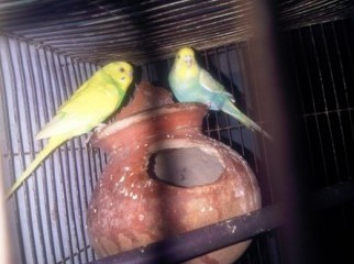 Budgigor Bird Breeding pair with egg Sale 01816-399606