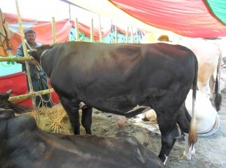 KURBANI COW FROM KUSTIA