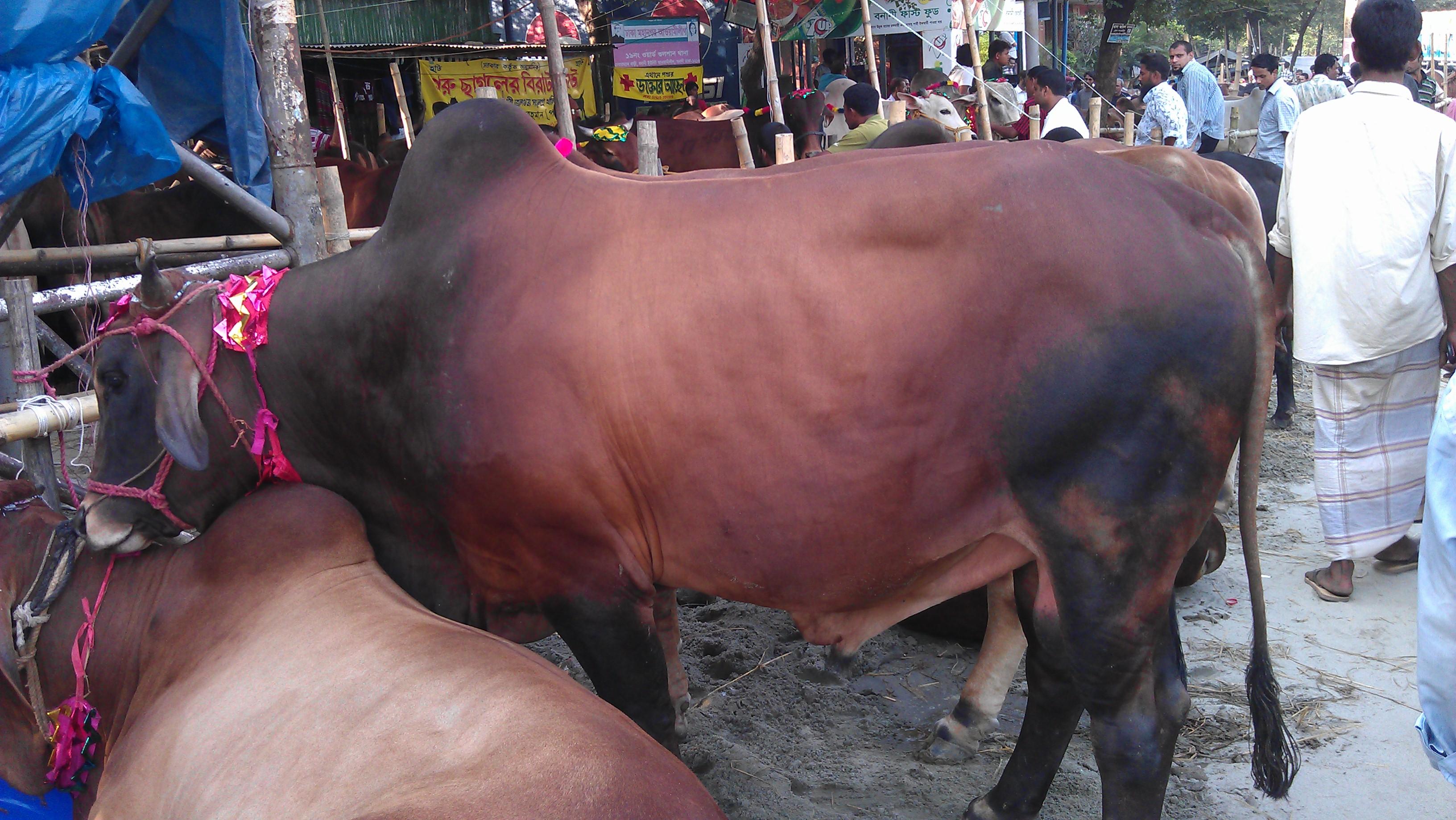 Cow FOR KURBANI EID | ClickBD large image 0