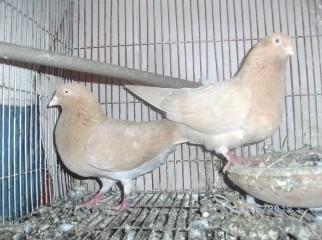 one Pair ghiya sulli