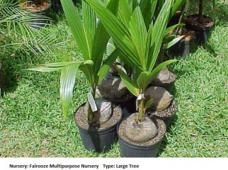 Coconut Tree Plant
