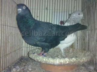 100 Giribuj Breeding pair 01723867721