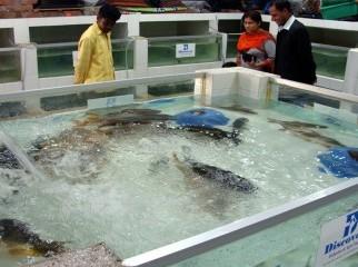Kalibaush Live fish